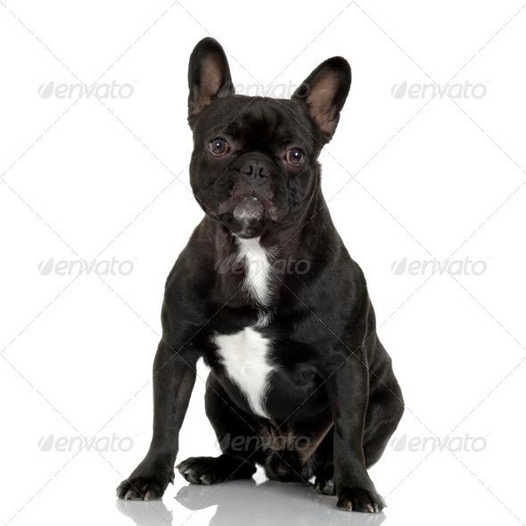 French Bulldog (1 year) - Stock Photo - Images