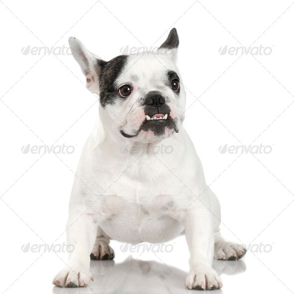 French Bulldog (1 year and 4 months) - Stock Photo - Images