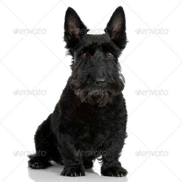 Scottish Terrier (9 years) - Stock Photo - Images