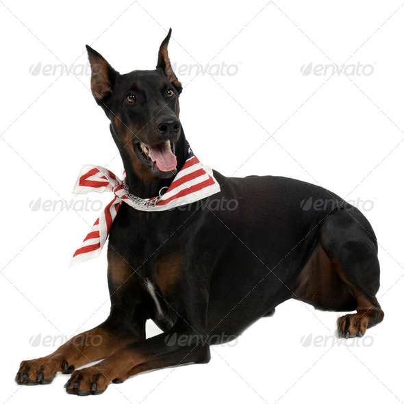 Doberman Pinscher - Stock Photo - Images