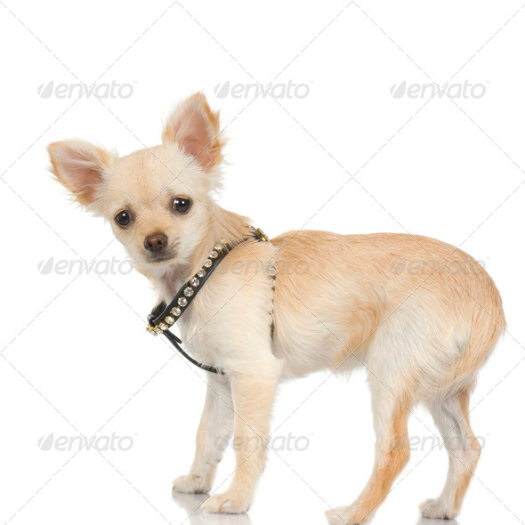 long haired chihuahua adult - Stock Photo - Images