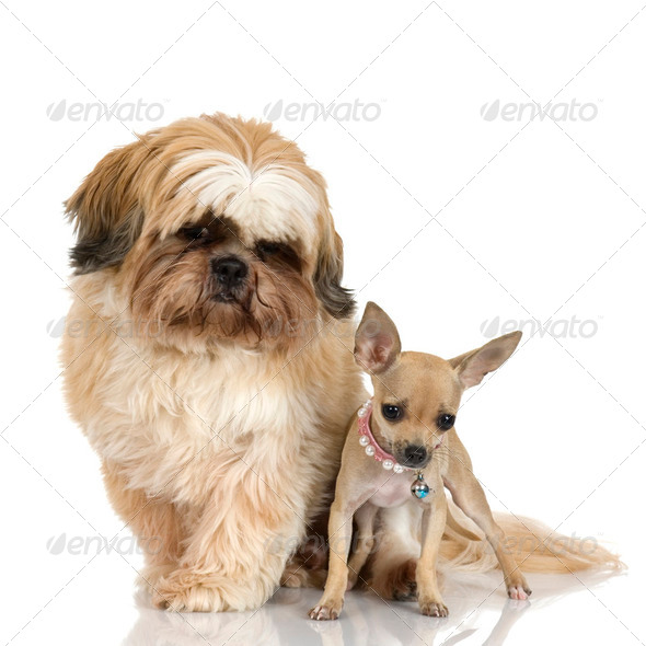 chihuahua and Shih Tzu - Stock Photo - Images