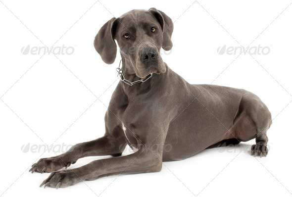 Grey Great Dane - Stock Photo - Images