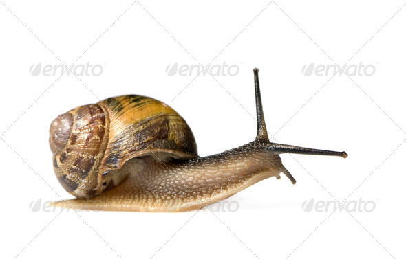 Garden snail - Stock Photo - Images