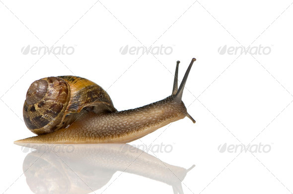 Garden snail - Stock Photo - Images