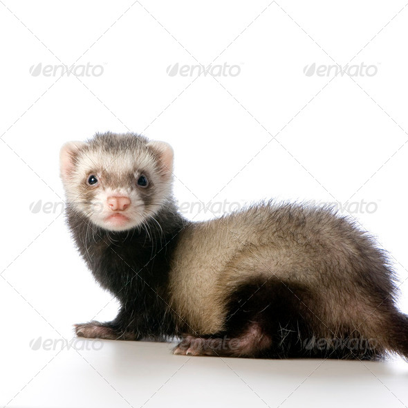 young siamese sable Ferret kit (10 weeks) - Stock Photo - Images
