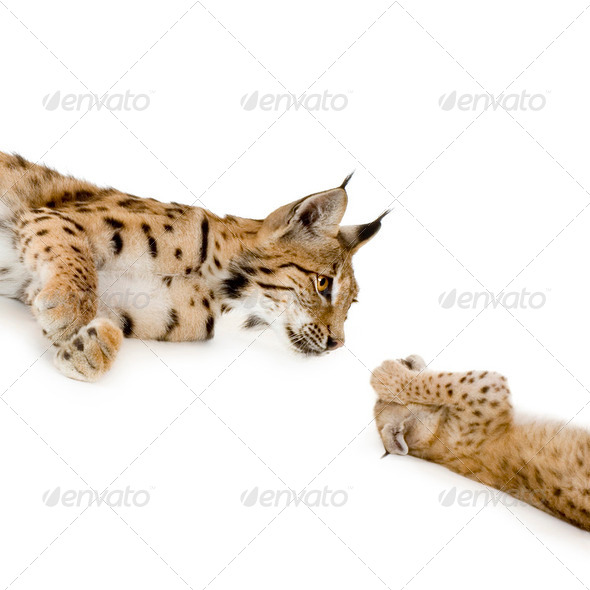 Lynx (2 years) and her cub (2 mounths) - Stock Photo - Images