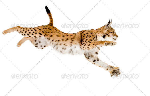 Lynx (2 years) - Stock Photo - Images