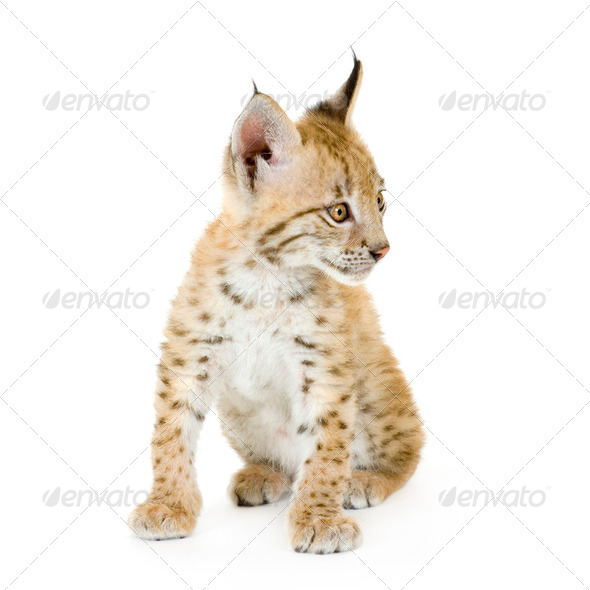 Lynx cub (2 mounths) - Stock Photo - Images