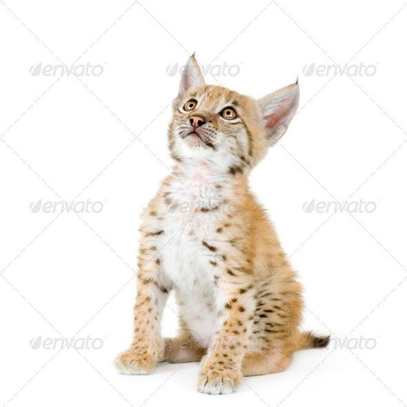 Lynx cub (2 mounths) - Stock Photo - Images