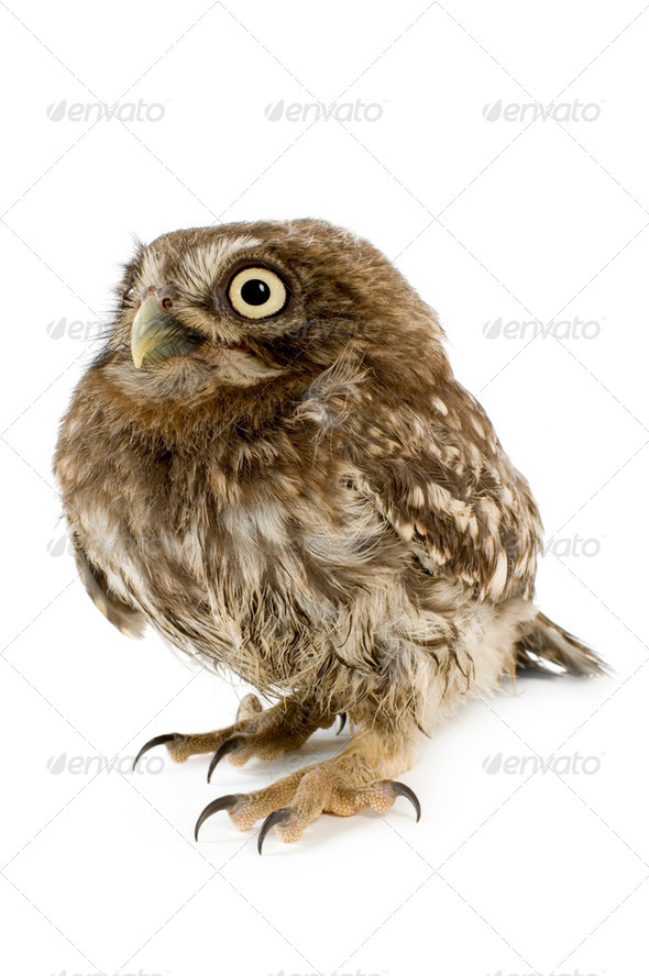 young owl (4 weeks) - Stock Photo - Images
