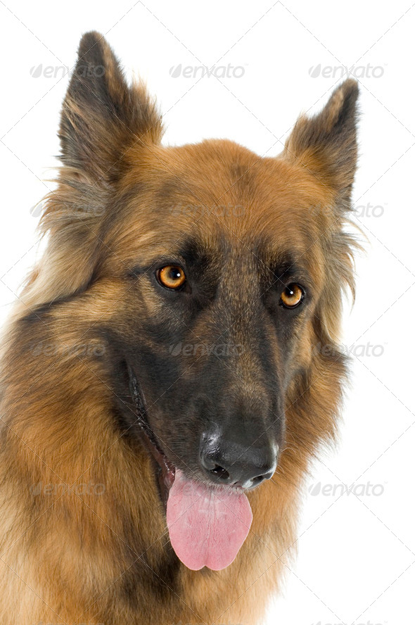 german shepherd / alsatian, police dog ( 2 years) - Stock Photo - Images
