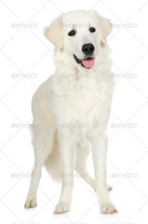 juvenile Labrador retriever cream - Stock Photo - Images