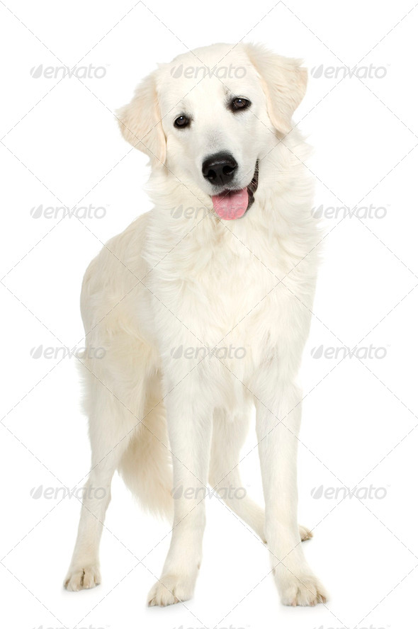 juvenile Labrador retriever cream - Stock Photo - Images