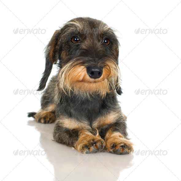 young Coarse haired Dachshund (11 mounths) - Stock Photo - Images