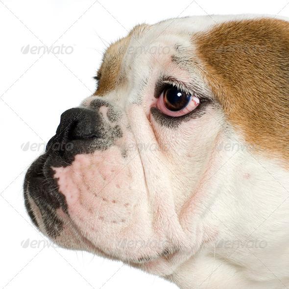 close-up on a english Bulldog - Stock Photo - Images