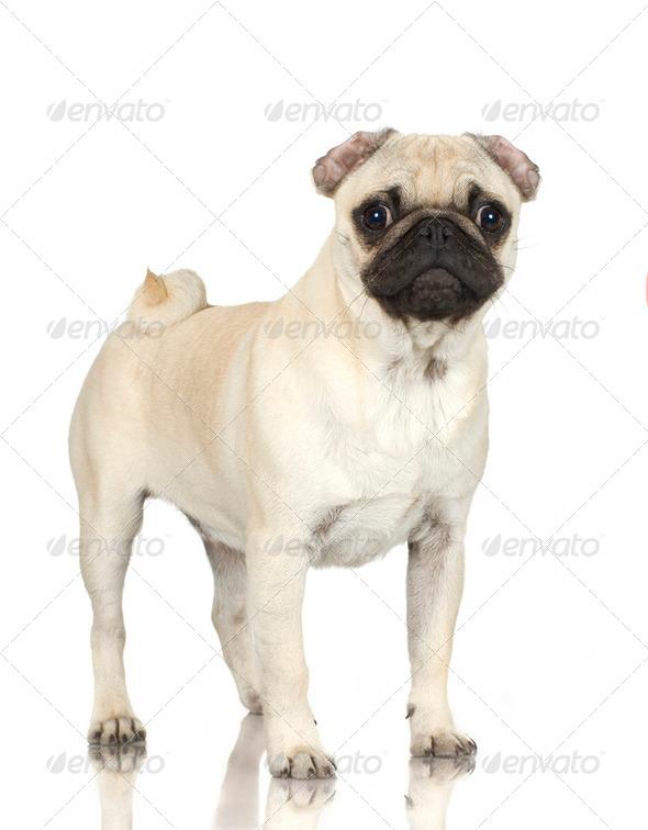 pug - Stock Photo - Images