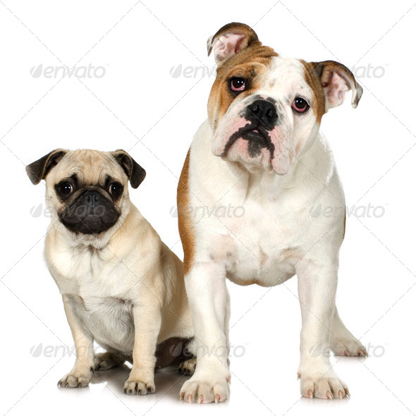 english Bulldog and a pug - Stock Photo - Images