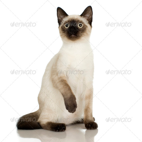 Siamese - Stock Photo - Images