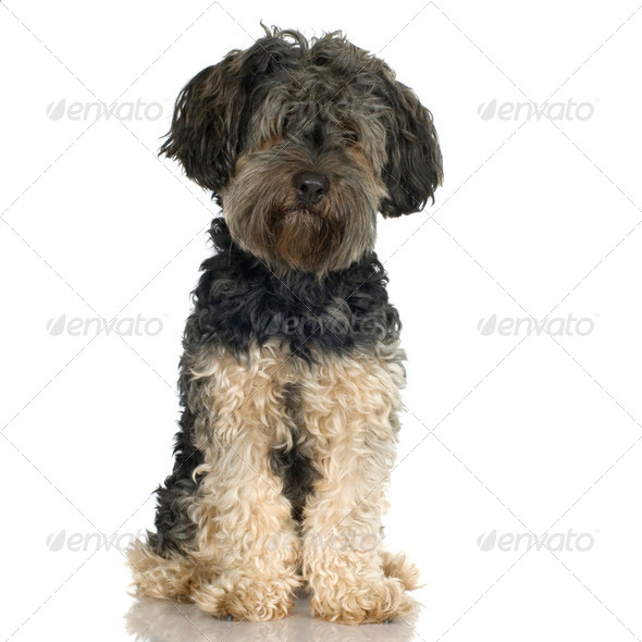 Griffon (4 years) - Stock Photo - Images