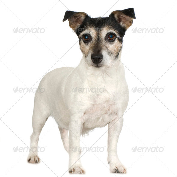 Jack russell (11 years) - Stock Photo - Images