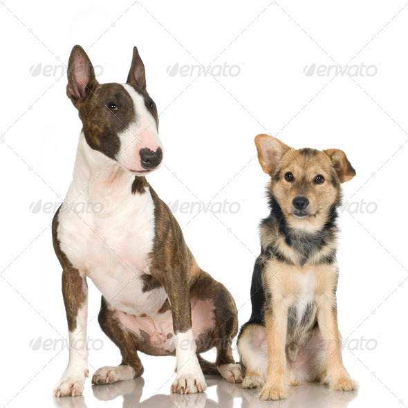 Bastard and a bull terrier - Stock Photo - Images
