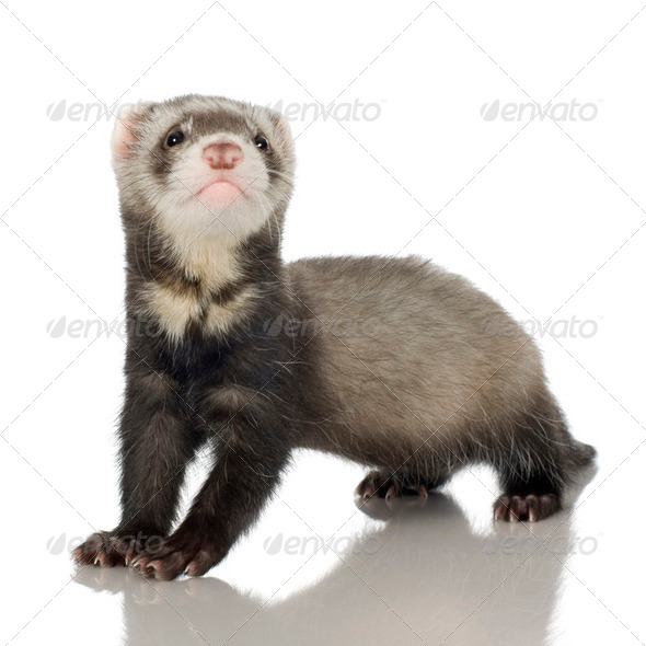 Ferret kit (6 weeks) - Stock Photo - Images