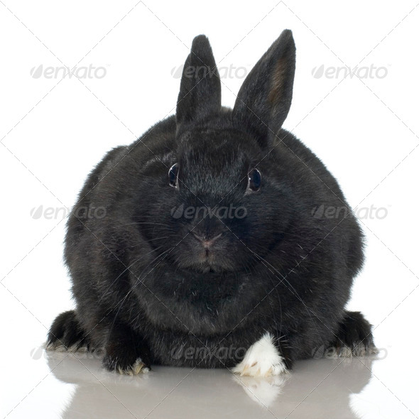 black Rabbit - Stock Photo - Images