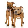 juvenile American Staffordshire terrier