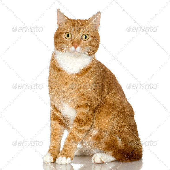 Ginger Cat kitten (4 years) - Stock Photo - Images