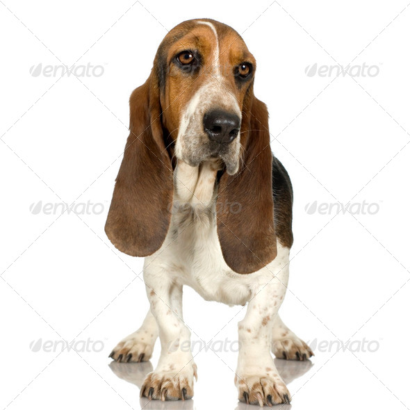 Basset Hound  -  Hush Puppies - Stock Photo - Images