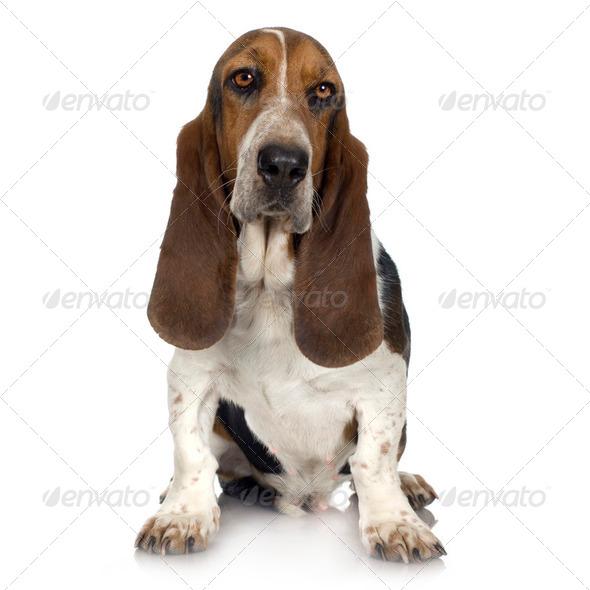 Basset Hound  -  Hush Puppies - Stock Photo - Images