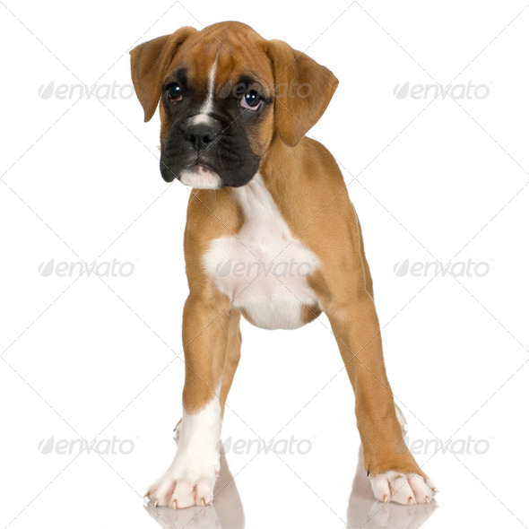 puppy Boxer (2 mounths) - Stock Photo - Images