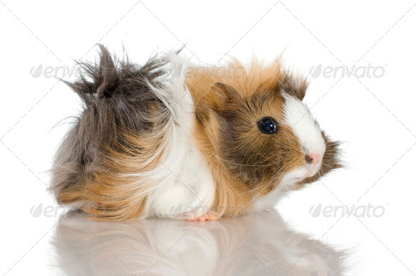 Peruvian guinea pig - Stock Photo - Images
