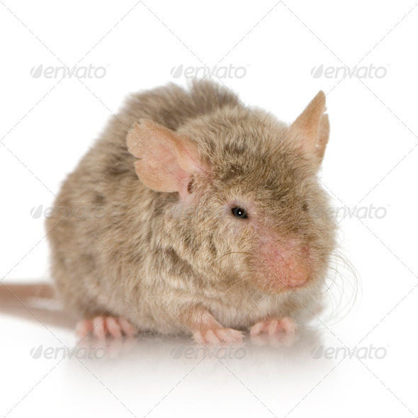 Mouse - Stock Photo - Images