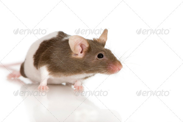 Two-coloured panda rat - Stock Photo - Images