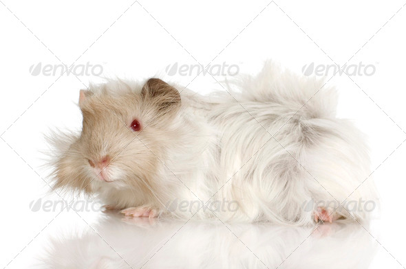 Lilac peruvian guinea pig - Stock Photo - Images