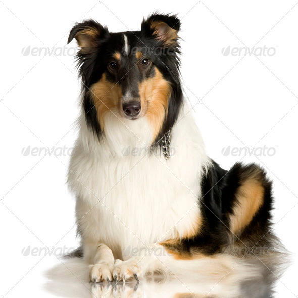 Collie ( 2 years ) - Stock Photo - Images