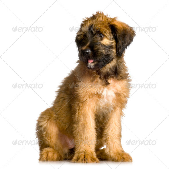 Briard - Stock Photo - Images