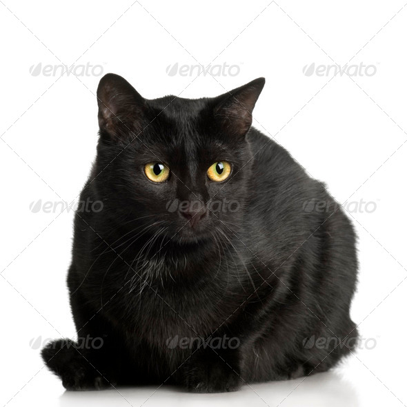 black Cat ( 1 years ) - Stock Photo - Images