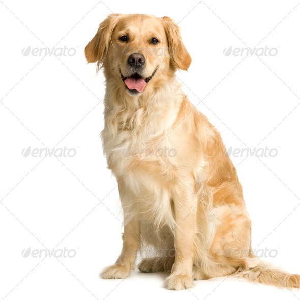 Labrador retriever cream ( 3 years ) - Stock Photo - Images