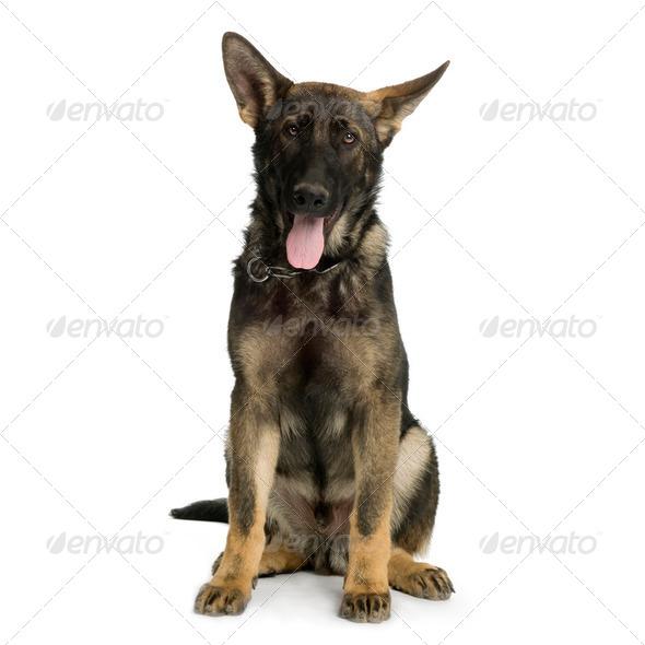 german shepherd / alsatian, police dog ( 5 month ) - Stock Photo - Images