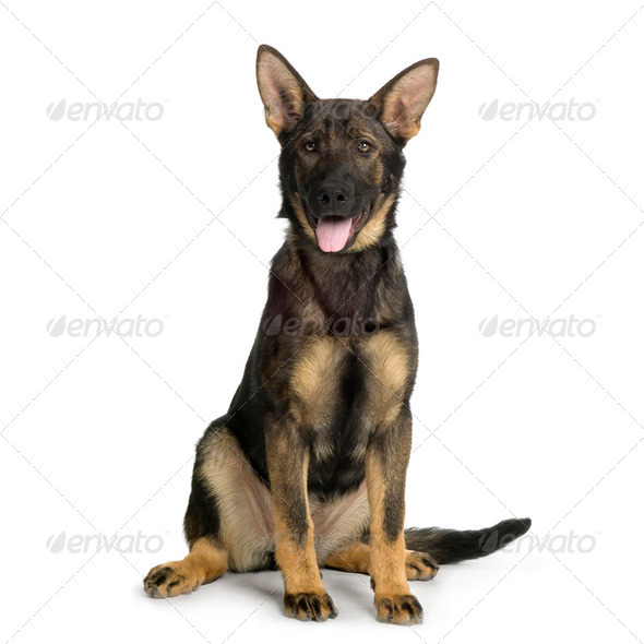german shepherd / alsatian, police dog ( 5 month ) - Stock Photo - Images