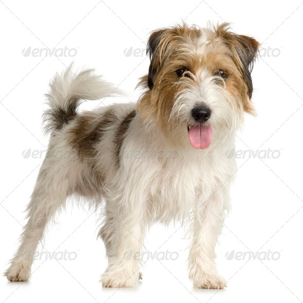 Jack russel long haired ( 1 years ) - Stock Photo - Images
