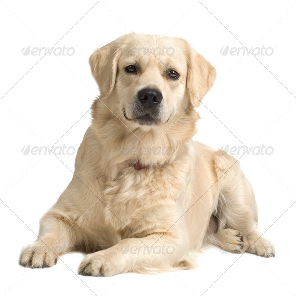 Labrador retriever cream ( 18 months ) - Stock Photo - Images
