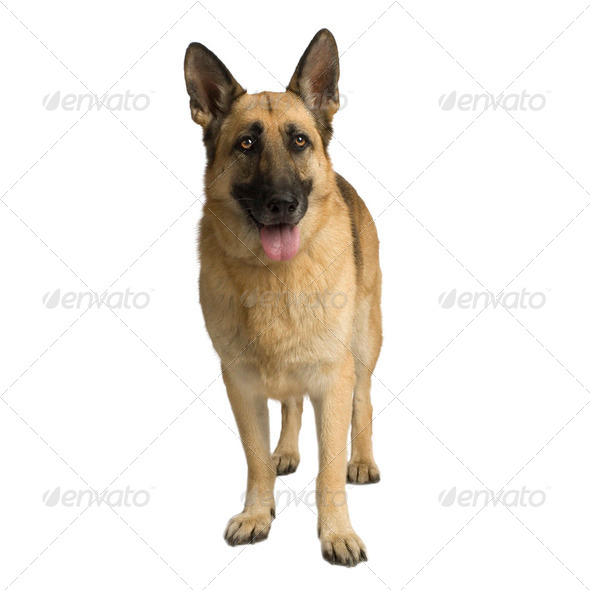 german shepherd / alsatian, police dog ( 6 years ) - Stock Photo - Images
