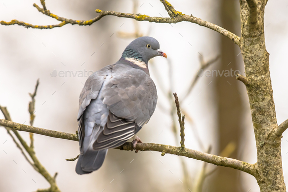 Wood pigeon perched on branch - Stock Photo - Images