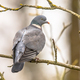 Wood pigeon perched on branch - PhotoDune Item for Sale