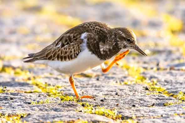 Ruddy turnstone shore bird feeding on coast - Stock Photo - Images