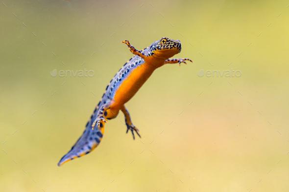 Alpine newt aquatic animal swimming in freshwater habitat - Stock Photo - Images